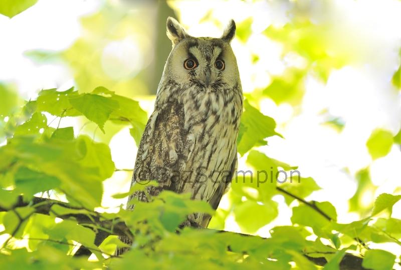 Long-eared Owl#2