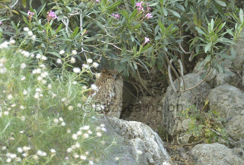 Brown-fish Owl