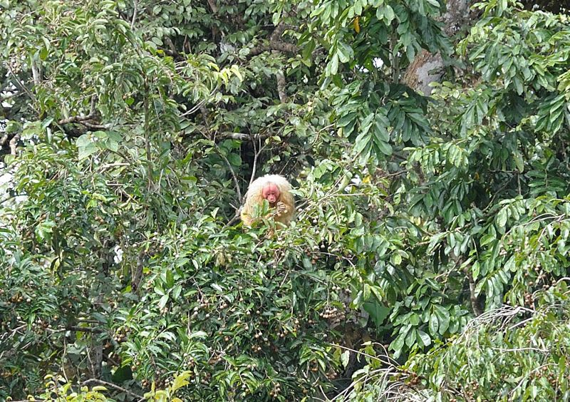 The Rare White Uakari Monkey