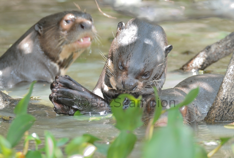 Family of Giant River Otters
