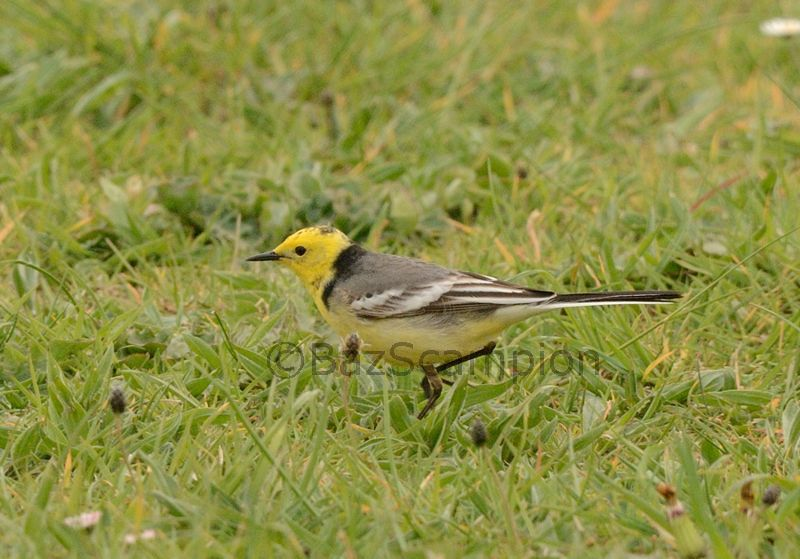 Male Citrine Wagtail