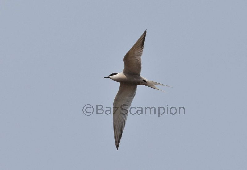 Common Tern S h longipennis