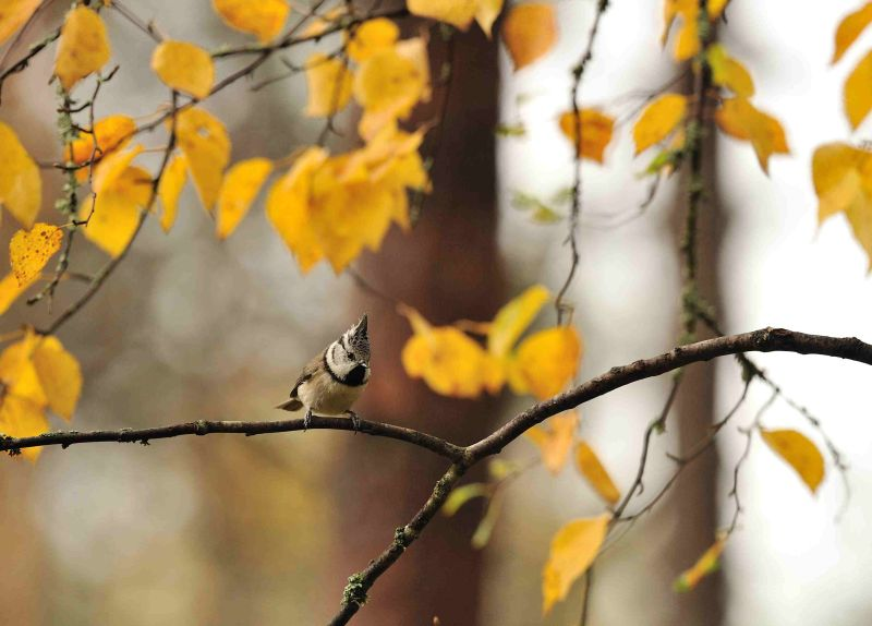 Crested Tit amongst autumnal Birch Leaves