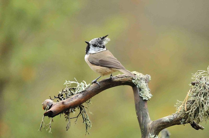 Crested Tit on Lichen encrusted branch.