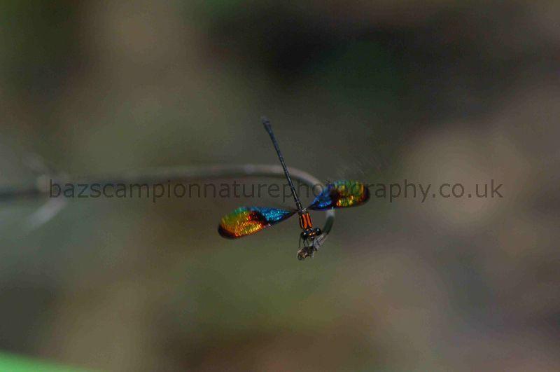 Male Calcopteryx rutilans