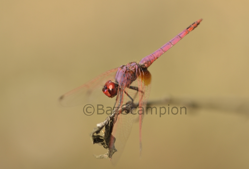 Male Violet Dropwing