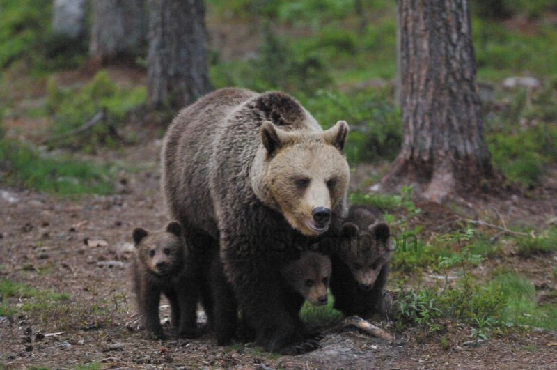 Female Brown Bear and cubs