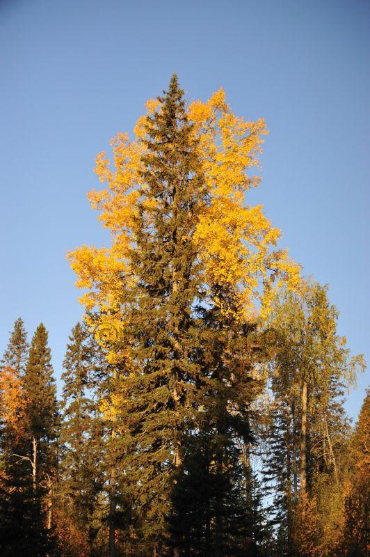 Autumn Birch and Spruce#2