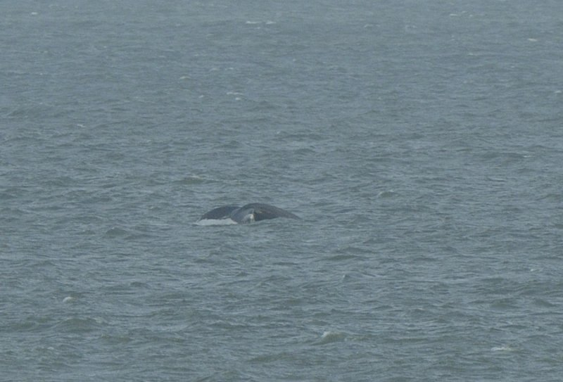 Humpback Whale off Norfolk coast