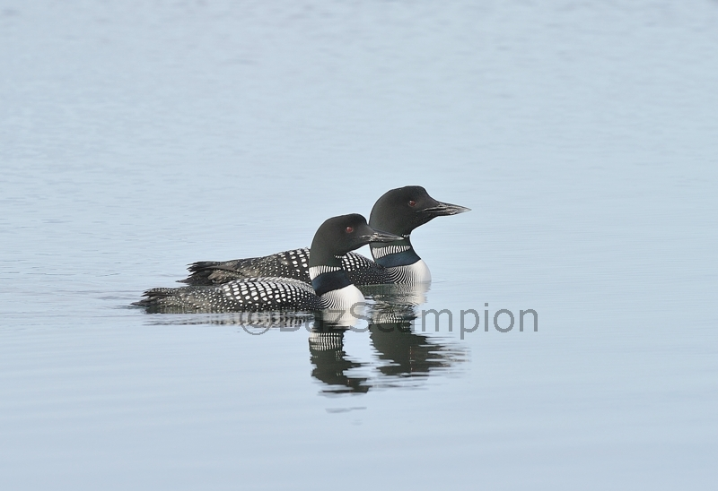 Pair of Great-northern Divers