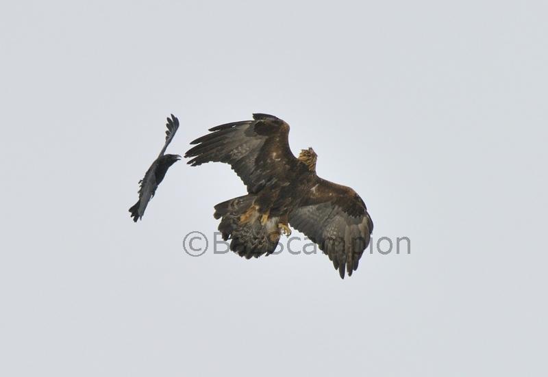 Golden Eagle mobbed by Raven