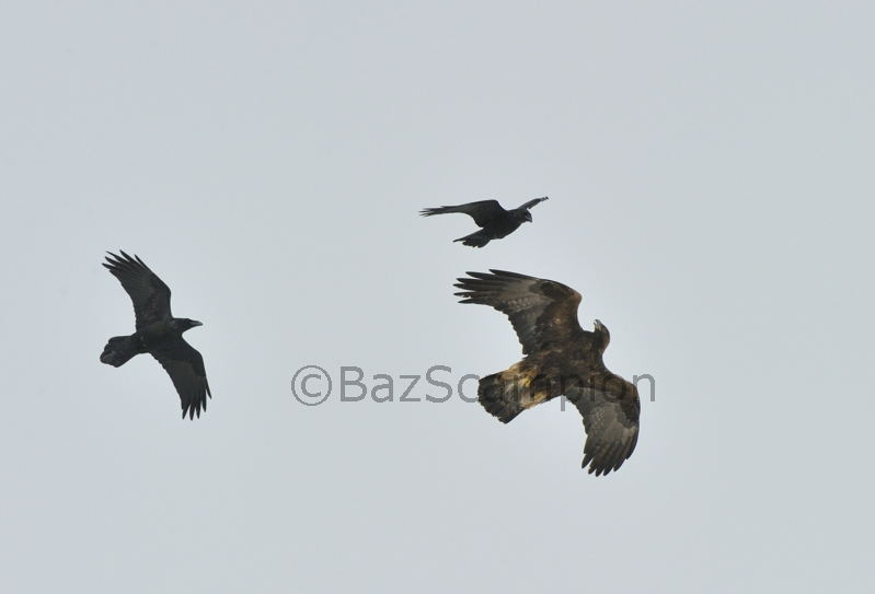 Adult Golden Eagle mobbed by pair of Ravens