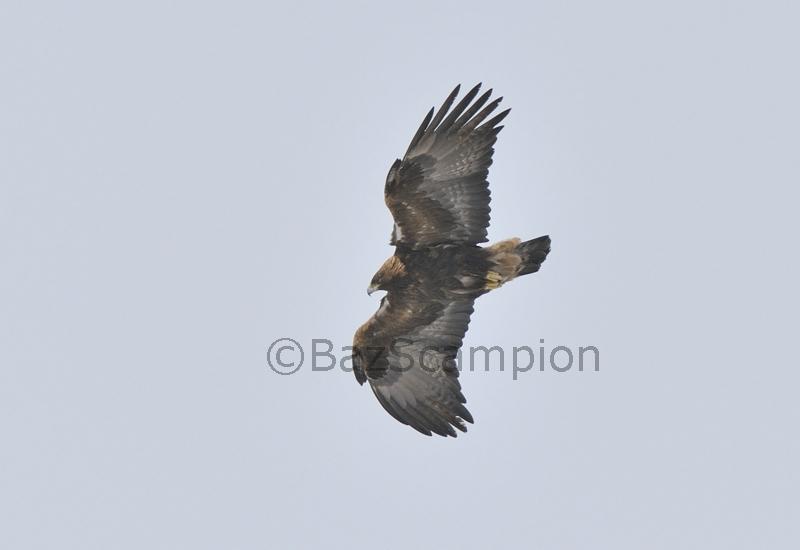 Adult Golden Eagle