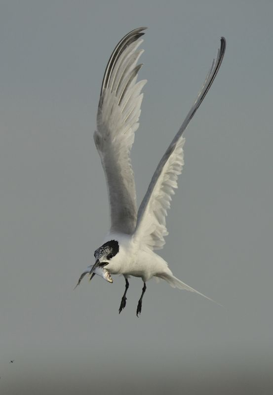 Sandwich Tern carrying a Sprat Brancaster Harbour  Scolt Head Island