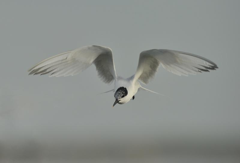 Sandwich Tern in Flight Scolt Head Island,  North Norfolk