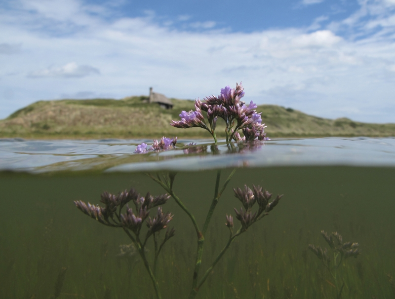 Common Sea Lavender and the Hut