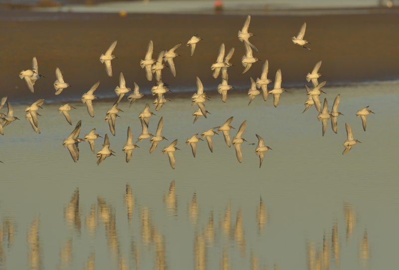 Flock of Dunlin in the winter sun