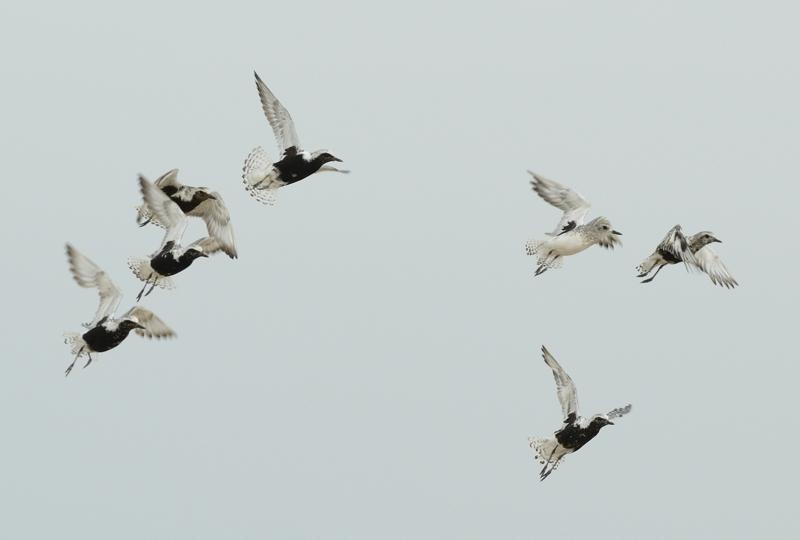 Grey Plovers