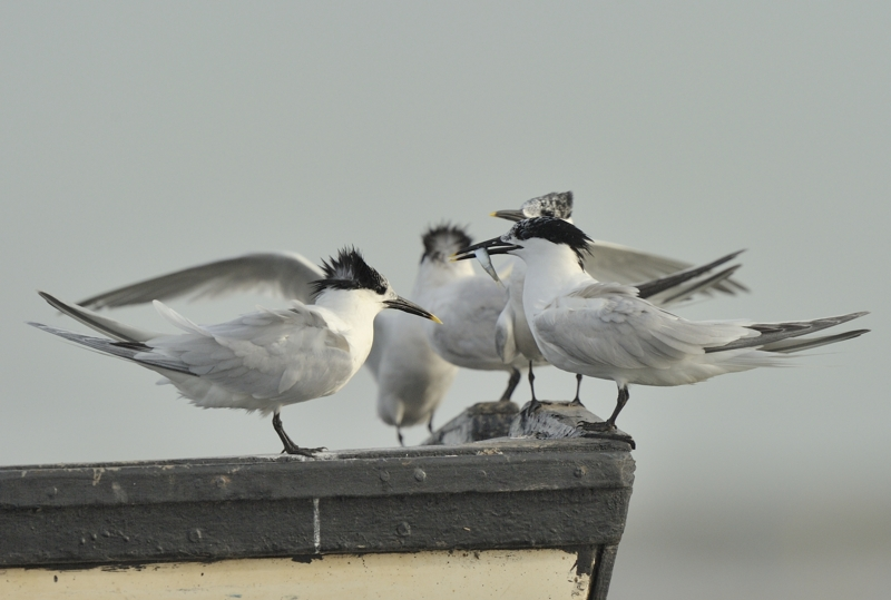 Sandwich Terns in Brancaster Harbour