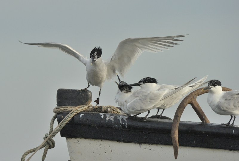 Sandwich Terns in Brancaster Harbour