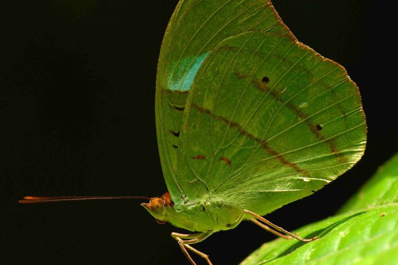 Obrinus Olivewing. nessaea obrinus