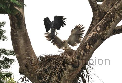 Harpy Eagles Harpia harpyja
