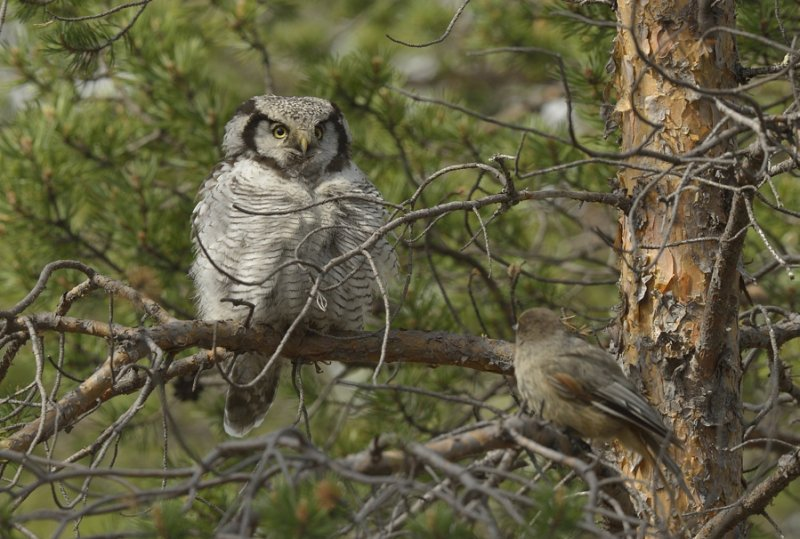 Hawk Owl mobbed by Siberian Jay