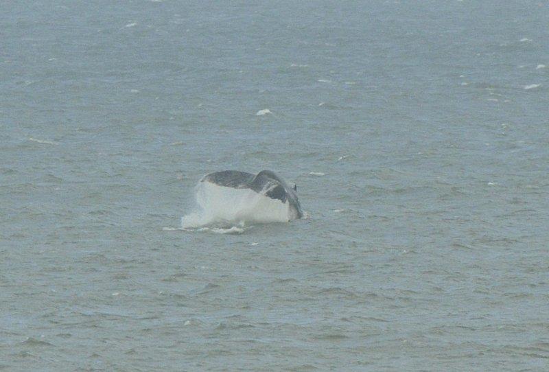 Humpack Whale showing flukes off Norfolk UK