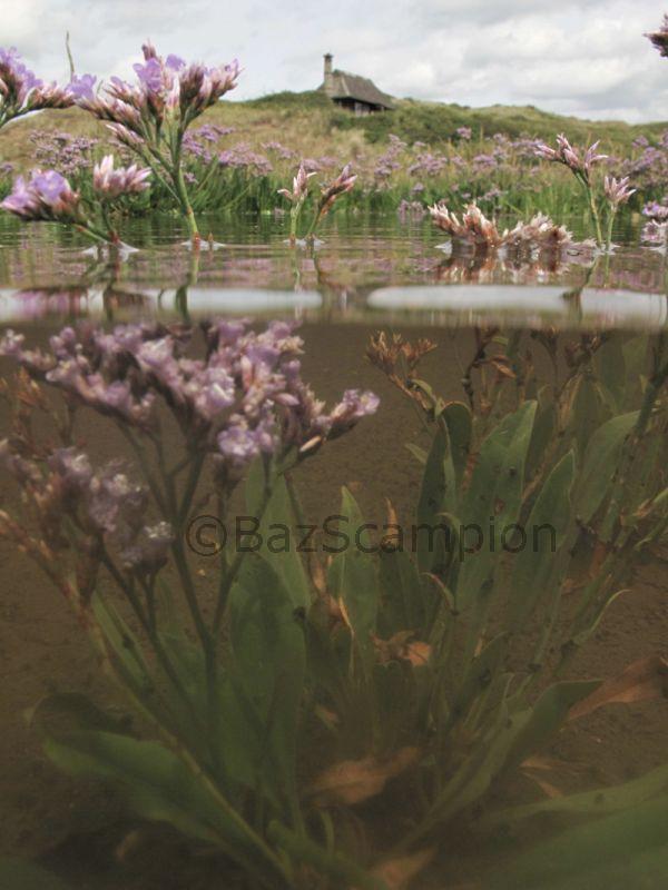 Common sea lavender