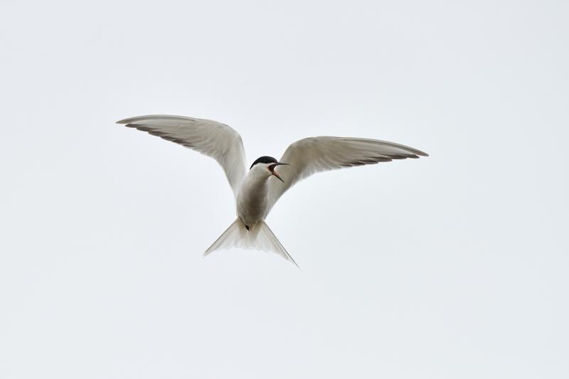 Eastern Common Tern  Sterna hirundo longipennis