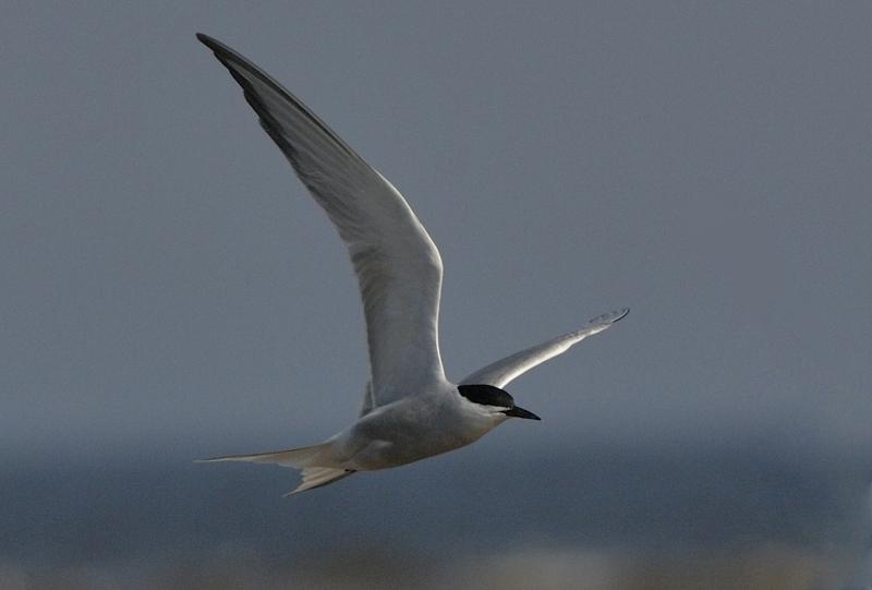 Possible Eastern Common Tern Sterna hirundo longipennis