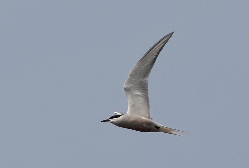 Eastern Common Tern