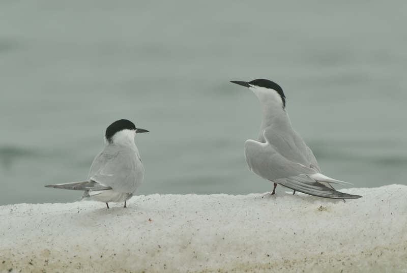 Eastern Common Terns
