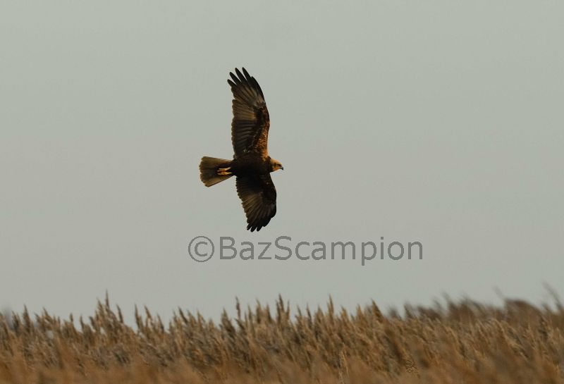 Juvenile female Marsh Harrier