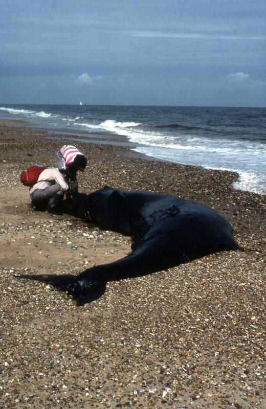 Northern Bottlenose Whale Scolt head Island Norfolk
