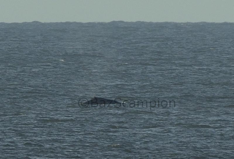 Humpback Whale of Waxham Norfolk Oct 2013