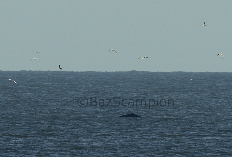 Humpback Whale Waxham Norfolk Oct 30 2013
