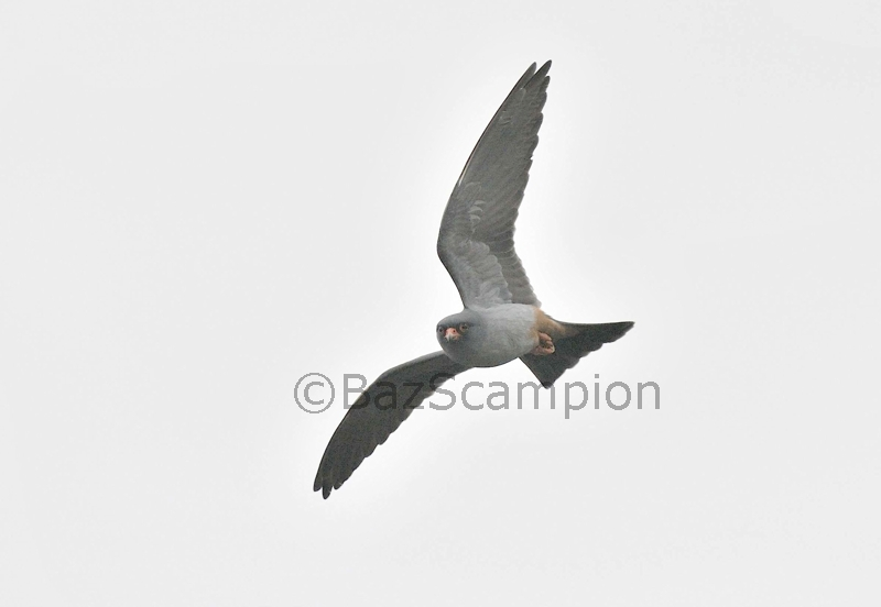Male Red-footed Falcon hunting insects over Reedbed