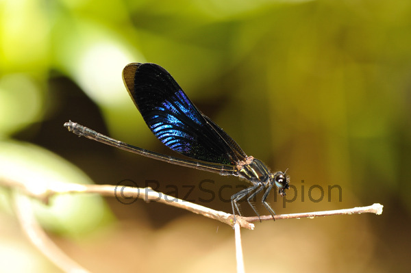 Male Shining Gossamerwing. Euphaea splendens.Endemic damselfly