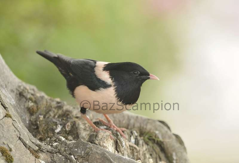 Adult Rose-coloured Starling