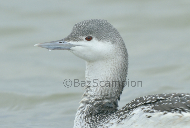 Winter Red-throated Diver