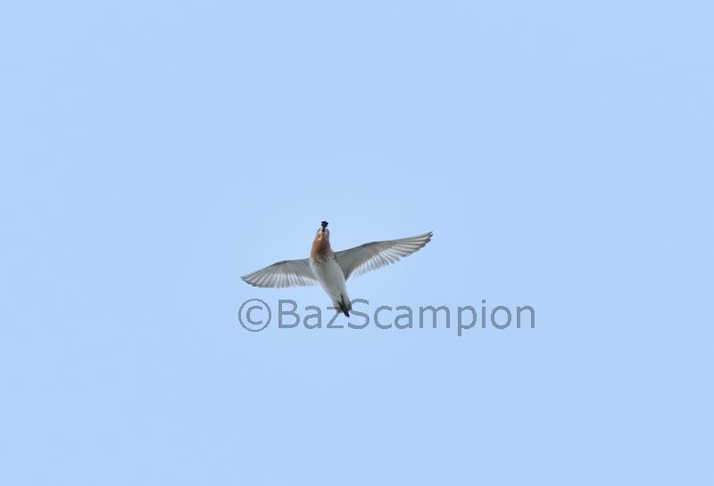Spoon-billed Sandpiper display flight