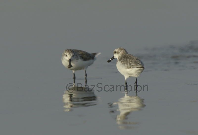 Two Spoon-billed Sandpipers