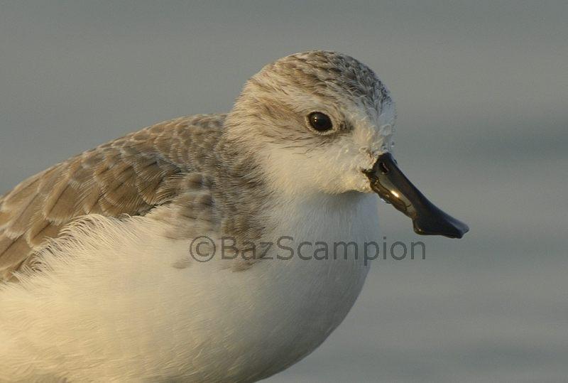 Adult Winter Plumage Spoon-billed Sandpiper