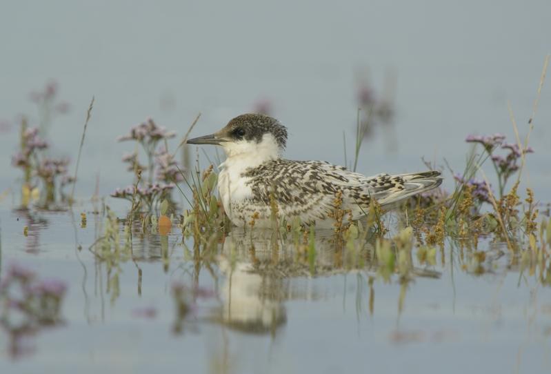 juvenile Sandwich Tern on Saltmarsh amongst sea lavender