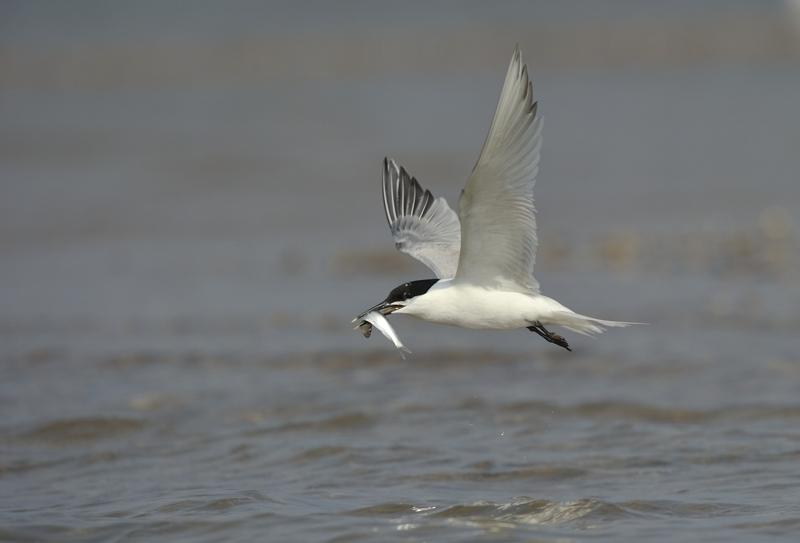 Sandwich Tern in Flight carrying fish