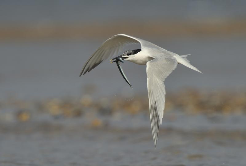 Sandwich Tern in Flight carrying a Sand Eel