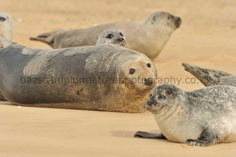 Harbour and Grey Seals on Blakeney Point