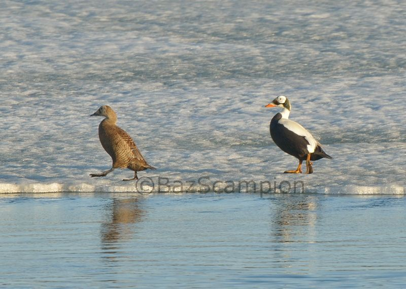 Pair of Spectacled Eider