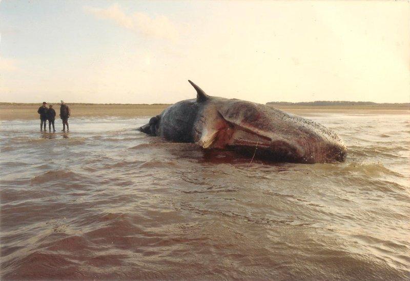 Sperm Whale Scolt Head island Norfolk November 1991